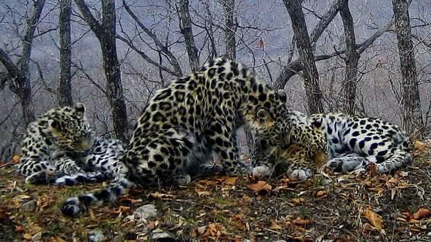 Эти снимки с фотоловушек удивили даже опытных зоологов Дальний Восток, Земля леопарда, животные, леопард, фотоловушка, хищники