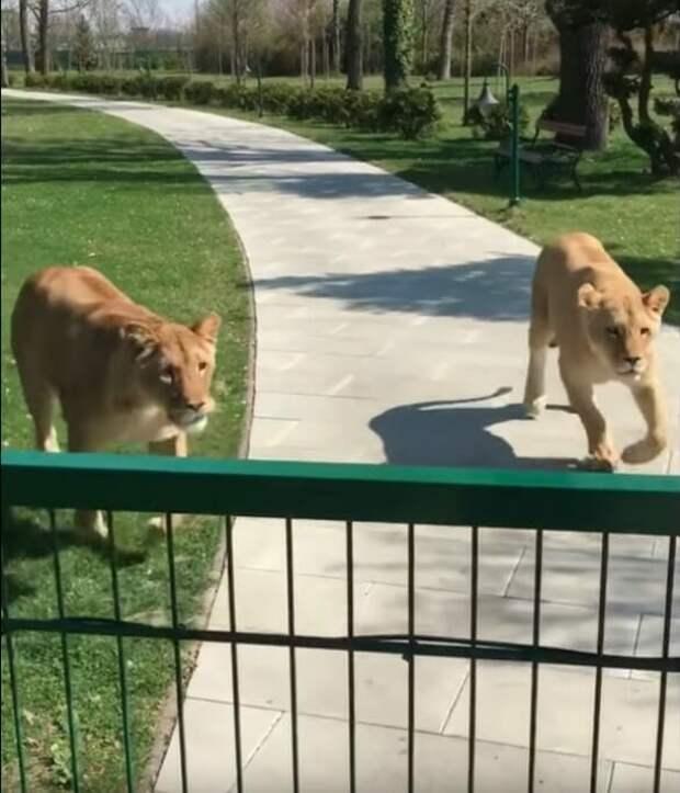 Она вырастила двух осиротевших львят, а потом их пришлось отдать в зоопарк. Спустя годы они встретились снова…До слез!