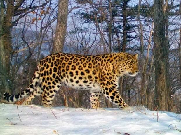 Леопард дальневосточный