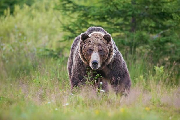 Тюменец ножом заколол медведя, убившего его друга
