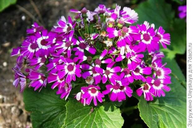 Цинерария огненно-красная дарит роскошное цветение уже с апреля, но с наступлением жары её убирают.