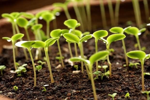 Правильное замачивание семян в перекиси водорода поможет получить хороший урожай