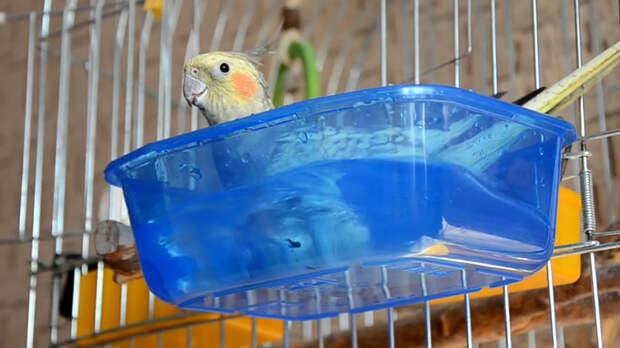 Причиной простуды у попугая может стать слишком холодная вода в купалке