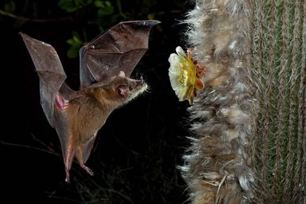 Листонос Лича: Жуткие, но безопасные летучие мыши питаются нектаром и боятся собственной тени
