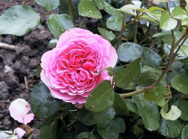 При покупке не смотрю зону морозостойкости роз, а выясняю, какой у неё подвой