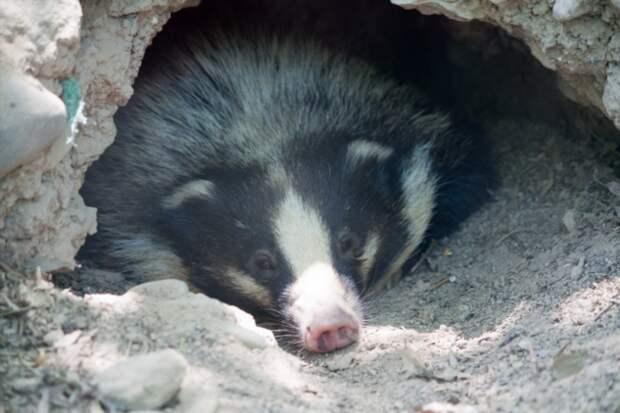 Свиной барсук: А вы знали, что есть смесь свиньи и барсука? (7 фото)