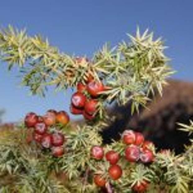 Кондратьев подписал постановление «О памятнике природы регионального значения «Можжевельник красный»