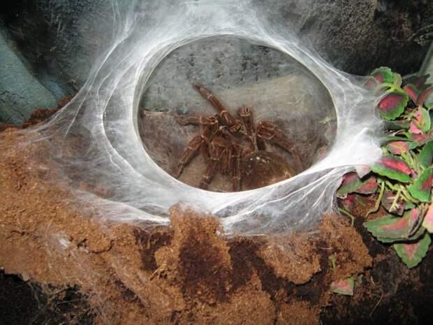 Птицеед-голиаф — самый большой паук на планете