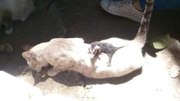 Кошка принесла с прогулки детеныша опоссума и стала ему настоящей мамой
