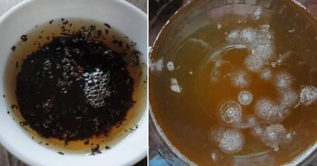 чайный гриб из шиповника