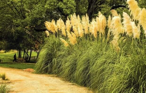 Пампасная трава, или Кортадерия Селло, или Кортадерия двудомная (Cortaderia selloana)