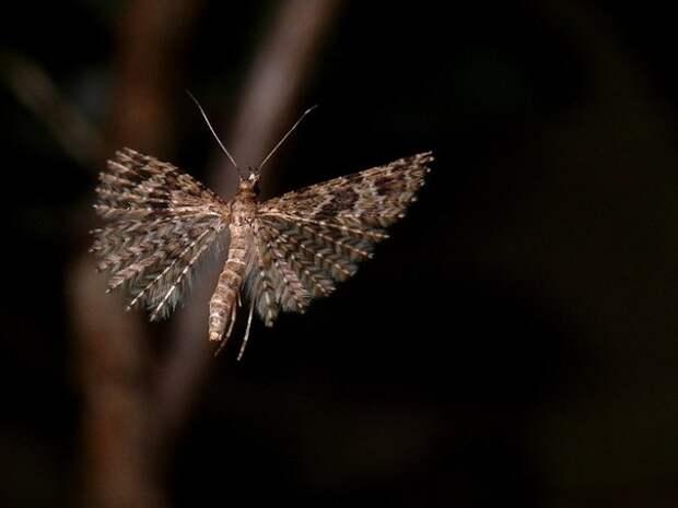 Не у каждого вида пальцекрылок так много крыльев. Но у конкретно этого (Шестипалая веерница) их 11 пар!