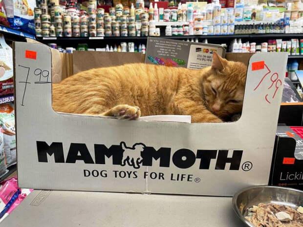Кошки в небольших магазинах, выглядящие так, будто они и есть хозяева