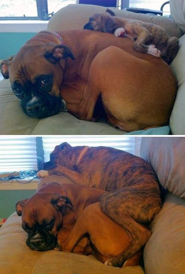 боксер маленький и большой (спят)