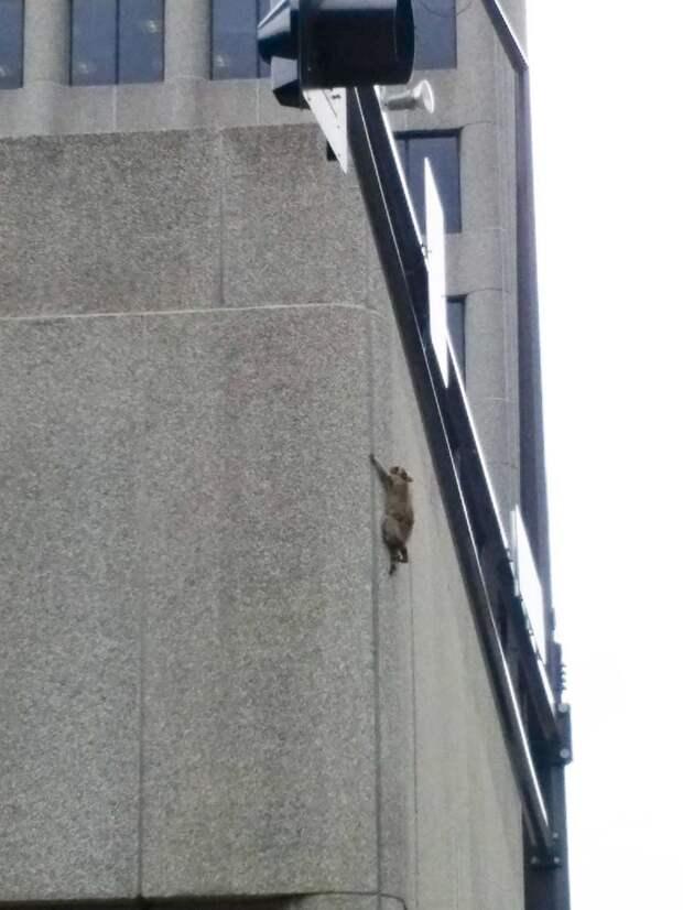 Енот по стене взобрался на 23-этажный небоскреб ynews, Миннесота, енот, животные, интернет, небоскреб, сша