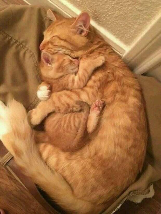 Мамины объятия животные, коты, кошки, подборка, смешное, собаки, фото, юмор