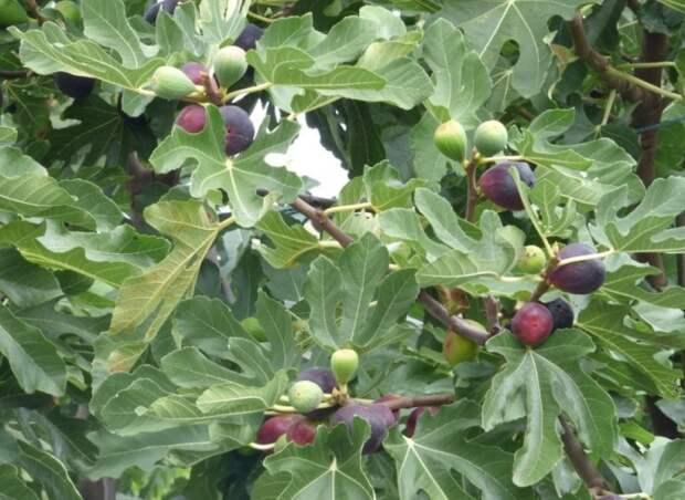 Инжирное дерево (фиговое дерево). \ Фото: landshaftdizajn.ru.