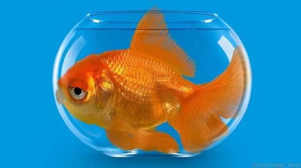 14. У золотых рыбок плохая память МИФ И ПРАВДА, животные, животный мир, интересные факты, миф, познавательно, факты о животных