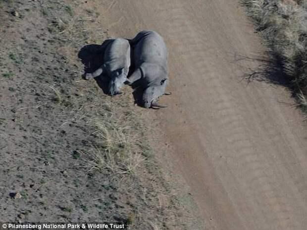 В Южной Африке браконьеры убили самку носорога, которая вот-вот должна была родить