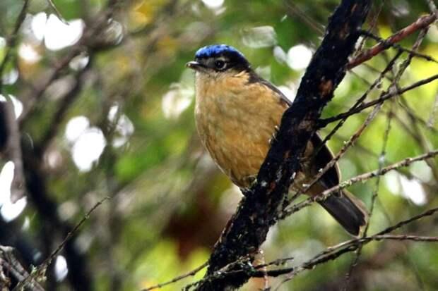Синеголовая ифрита: птичка-невеличка, убивающая прикосновением