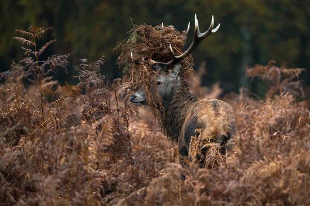 Благородный олень: А почему это он благородный, если ведёт себя, как борзый гопник?