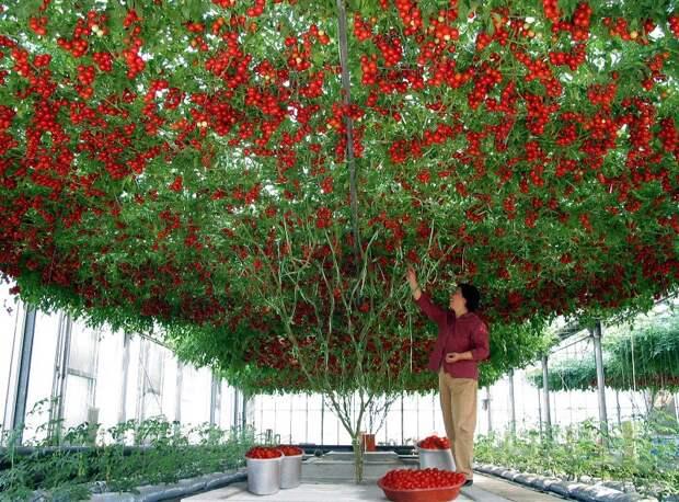 Суперурожайные растения