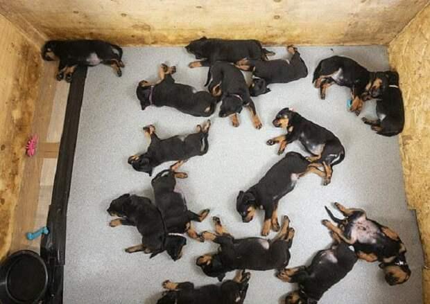 Шестнадцать щенков