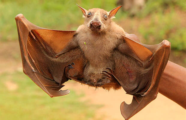 Кто такие летучие мыши с головами собак?