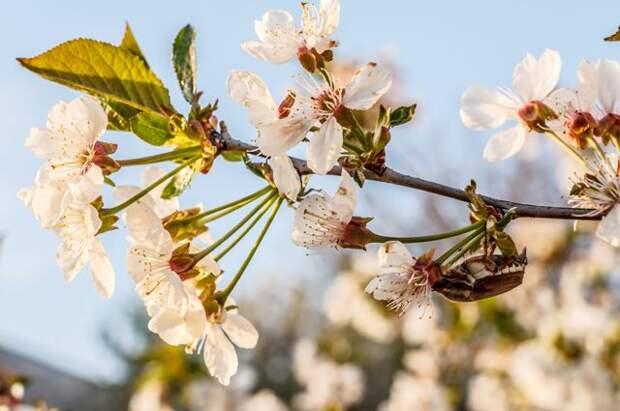 Борьба с хрущом и нематодой. Чем опасен майский жук?