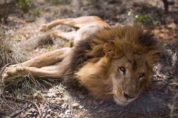 Спасение 33 львов