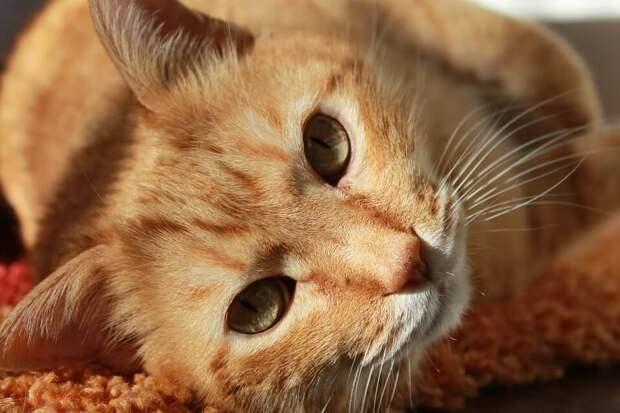 На фото изображен рыжий кот.
