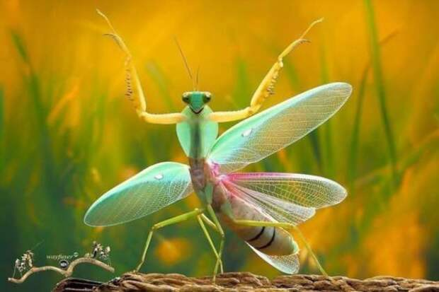 Богомолы — хищные эльфы природы (31 фото)
