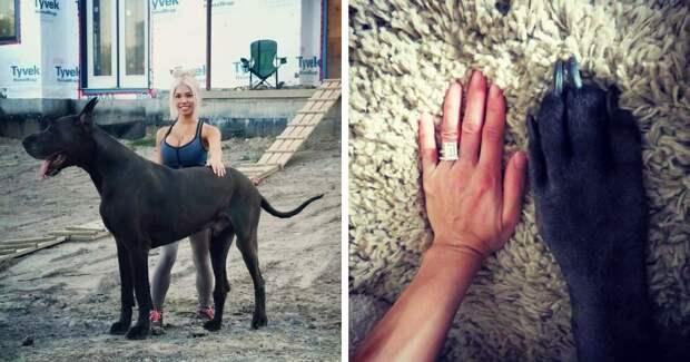 Это собака или лошадь? Немецкий дог Гром ростом больше 2 метров весит 95 кило