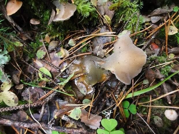 В национальном парке «Водлозерский» обнаружили необычный ледяной гриб