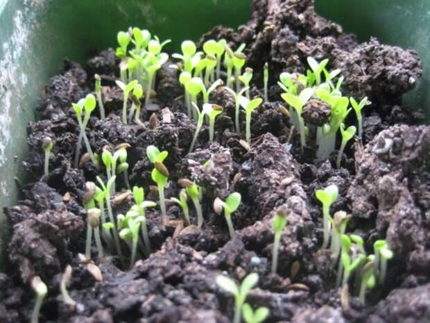 Шпинат: выращивание в домашних условиях из семян для начинающих