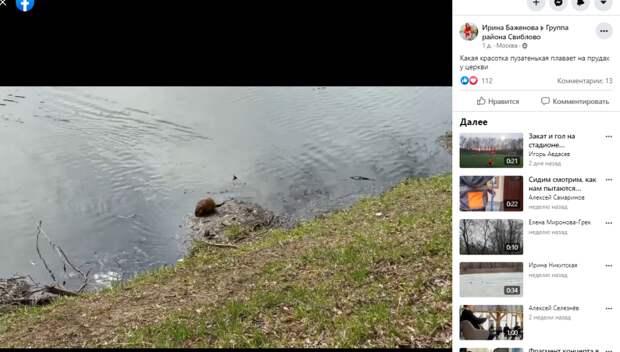 Фото дня: ондатра пересекла пруд в усадьбе Свиблово