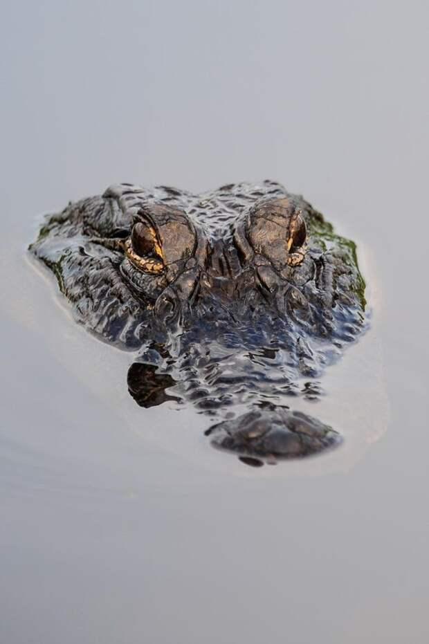 Даже самые рваные раны у крокодила не гноятся и бистро заживают. Этому способствует природный антибиотик, который находится у крокодила в крови. аллигатор, интересное, крокодил, природа, факты, фауна