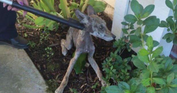 Женщина нашла на крыльце облезлую собаку и вызвала волонтёров. А они ошарашили её сообщением – кем было это хрупкое создание на самом деле!