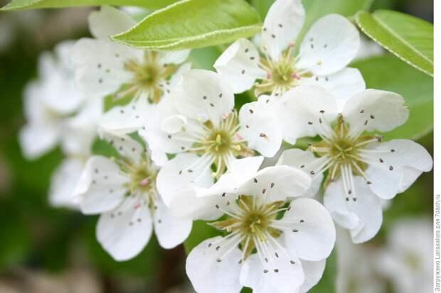 Лечебная цветотерапия на даче: белый цвет