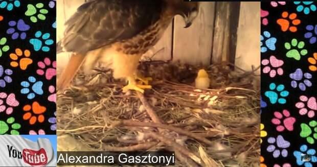 Ради эксперимента фермер подложил куриное яйцо под орла