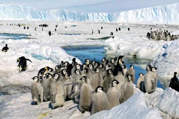 Из-за раннего таяния льда в Антарктиде погибла вторая по величине колония императорских пингвинов