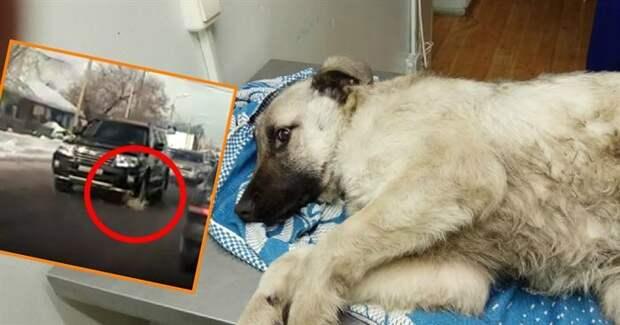 Сбитую внедорожником собаку отправили на лечение, а позже на связь вышел тот самый водитель!