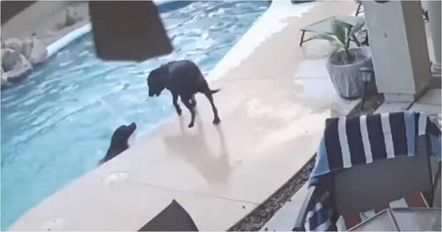 Пёс спас тонущего в бассейне друга бассейн, видео, животные, собака, собаки, спасение, сша