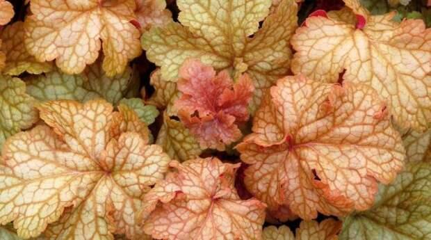 декоративно лиственные травянистые многолетники