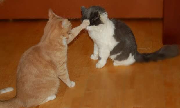 Кот Тишка копировал поведение подобранца Мишки