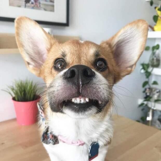 25 умилительных фото корги, которые дают понять, почему эти собаки так популярны