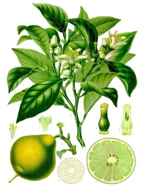 Бергамот - полезный цитрус