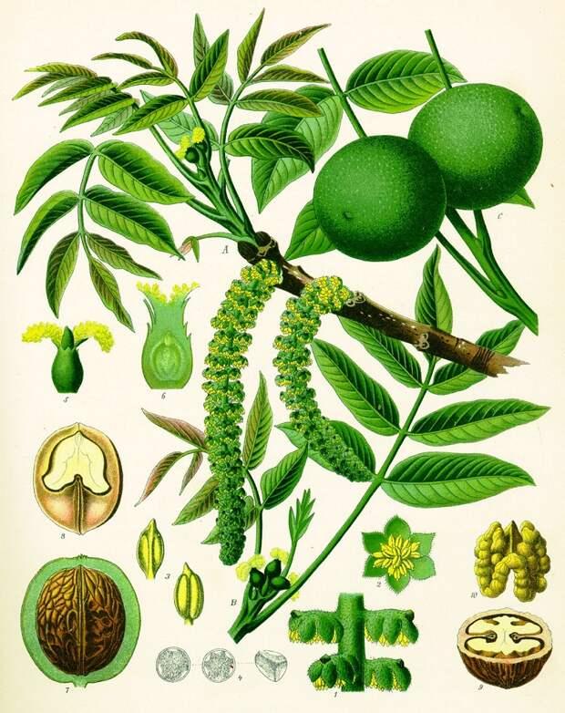 листья грецкого ореха для волос