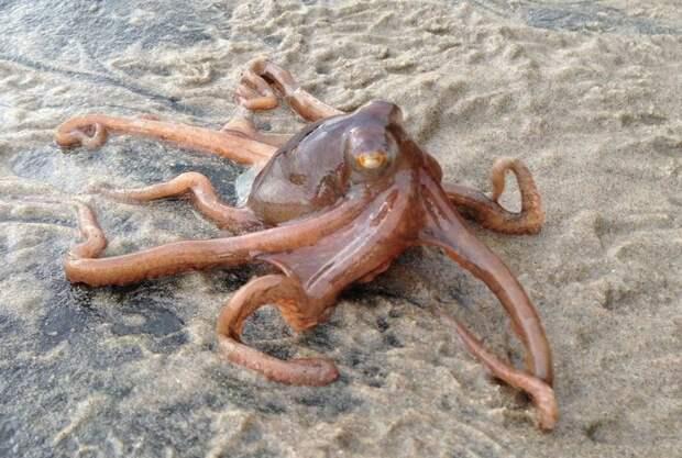 Поразительные существа: каким образом осьминоги ходят по суше, и чем они дышат