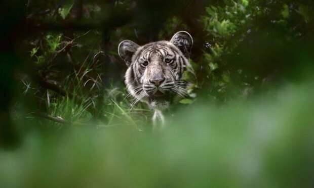 В Индии сфотографировали живущего в дикой природе тигра с редчайшим окрасом